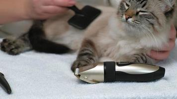 A woman is combing a Siamese cat's hair video