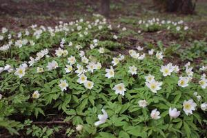 Primroses Early spring in the forest photo