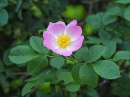 Perro rosa flor y hojas verdes en un seto foto