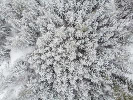 Evergreen forest in winter photo