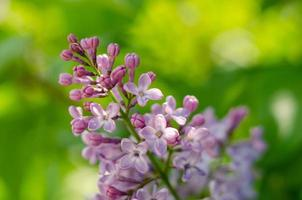 Lovely flowers of blooming purple lilac in the sun photo
