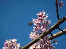 A bee lands on a pink flower photo