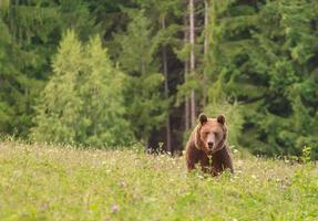 Brown wild bear photo