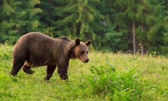 Brown bear wildlife scene photo