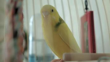 Pair of budgerigar in a large cage video