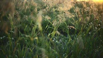 Spikelets of grass in the early morning video