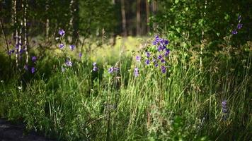 Blooming bluebell plants in the forest video