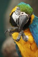 Parrot ara macao cleaning its foot photo