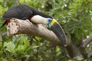 Toucan Ramphastos Toco sitting on tree branch in tropical forest or jungle photo