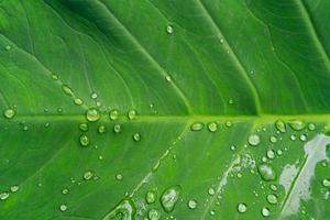 Green taro leaf with morning dew photo