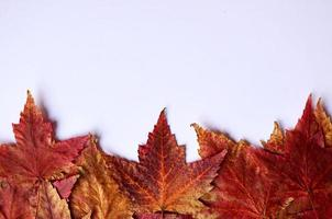 red maple leaves on the white background photo