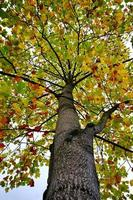 árboles con hojas amarillas en la temporada de otoño foto