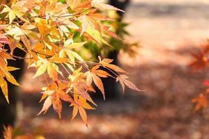 Arce y bokeh en otoño en el parque nacional de Seoraksan, Corea del Sur foto