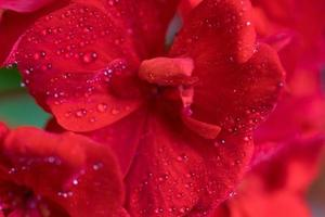 Red geranium flower in macro with dew drops photo