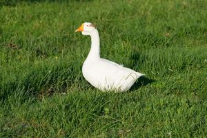 white goose with young ducks on green grass photo