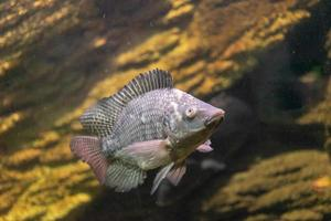 Aquarium fish on the background of artificial rocks and vegetation photo