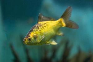 Aquarium yellow fish on the background of water photo