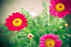 Planta de jardín de gazania en flor rosa y rojo foto