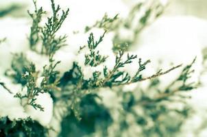Thuja arbustos cubiertos de nieve foto
