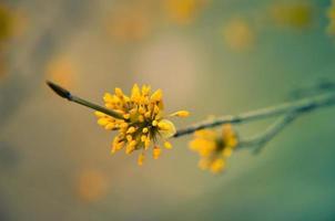 árbol de cornel europeo floración del seno foto