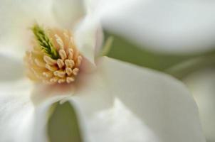 Flower of white magnolia up close photo