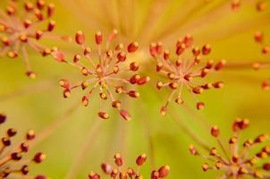 Bug on dill flower closeup photo