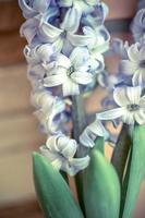 Dos lirio azul de Delft Hyacinthus orientalis liliaceae foto