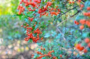 Firethorn Pyracantha coccinea bayas en la temporada de otoño bayas de pyracantha rojo anaranjado o amarillo en la temporada de otoño foto