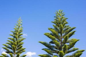 Pines and blue sky photo
