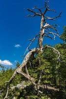 Viejo árbol en la montaña de Tara en Serbia foto