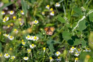 a brown butterfly photo