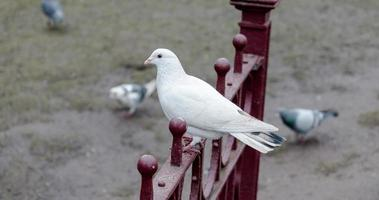 Small White Dove photo