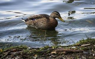 Swimming Duck on the Water photo