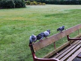 pigeons on a bench photo