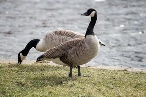 Two Geese Feeding photo