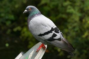 pigeon perching on a ledge photo