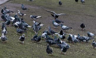 A Flock of Pigeons photo