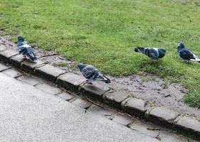 four pigeons on a path photo