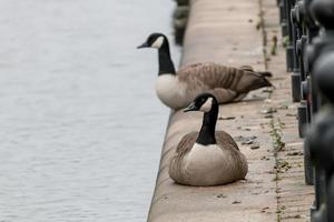 Tow Geese on the Towpath photo