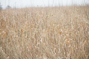 Light Brown Grass photo