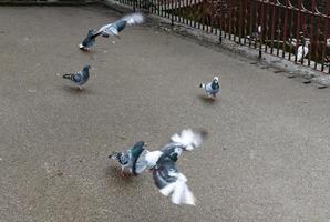 pigeons taking flight photo