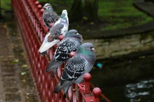 row of pigeons photo