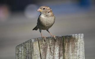sparrow on a perch photo