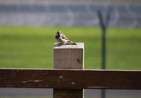 sparrow on fence photo