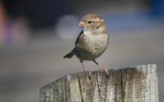Sparrow Looking Left photo