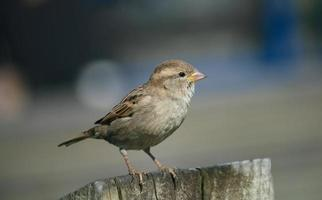 sparrow looking right photo