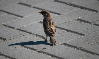 sparrow from the rear photo