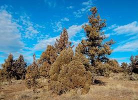 December Desert Day a dry early winter juniper scene in the high desert east of Redmond OR photo
