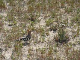 Pequeña abubilla caminando sobre la arena de una playa foto