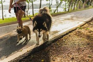 Woman walking in the park with Siberian Husky and pug dog photo